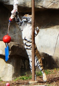 tigertetherball